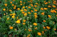 Calendula flowers in bloom